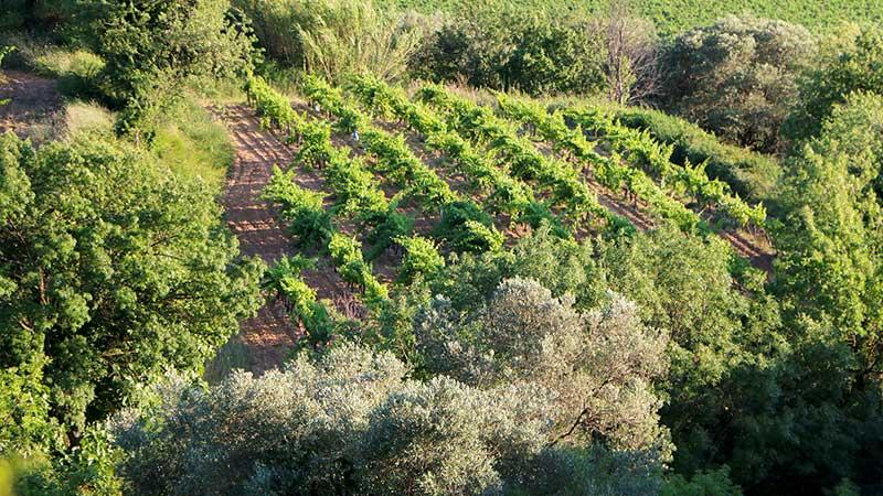 Paysages de vignes au soleil couchant