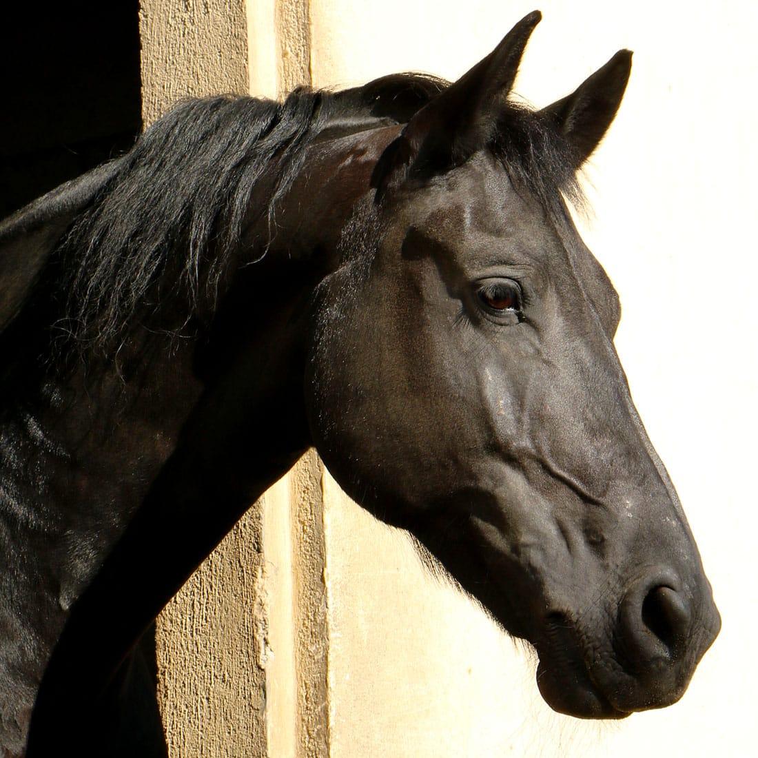Mon cheval Hongre de race Frison, Saryis de Val Castel.