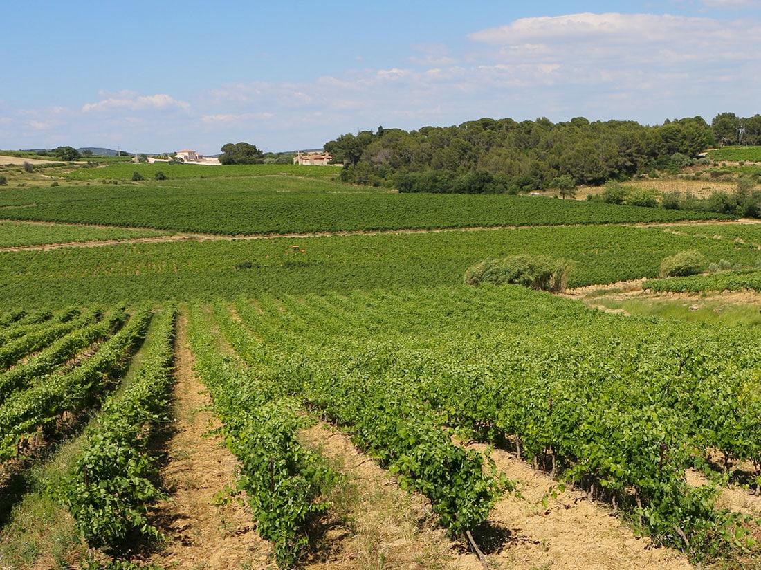 Rangées de vignes, paysages graphiques