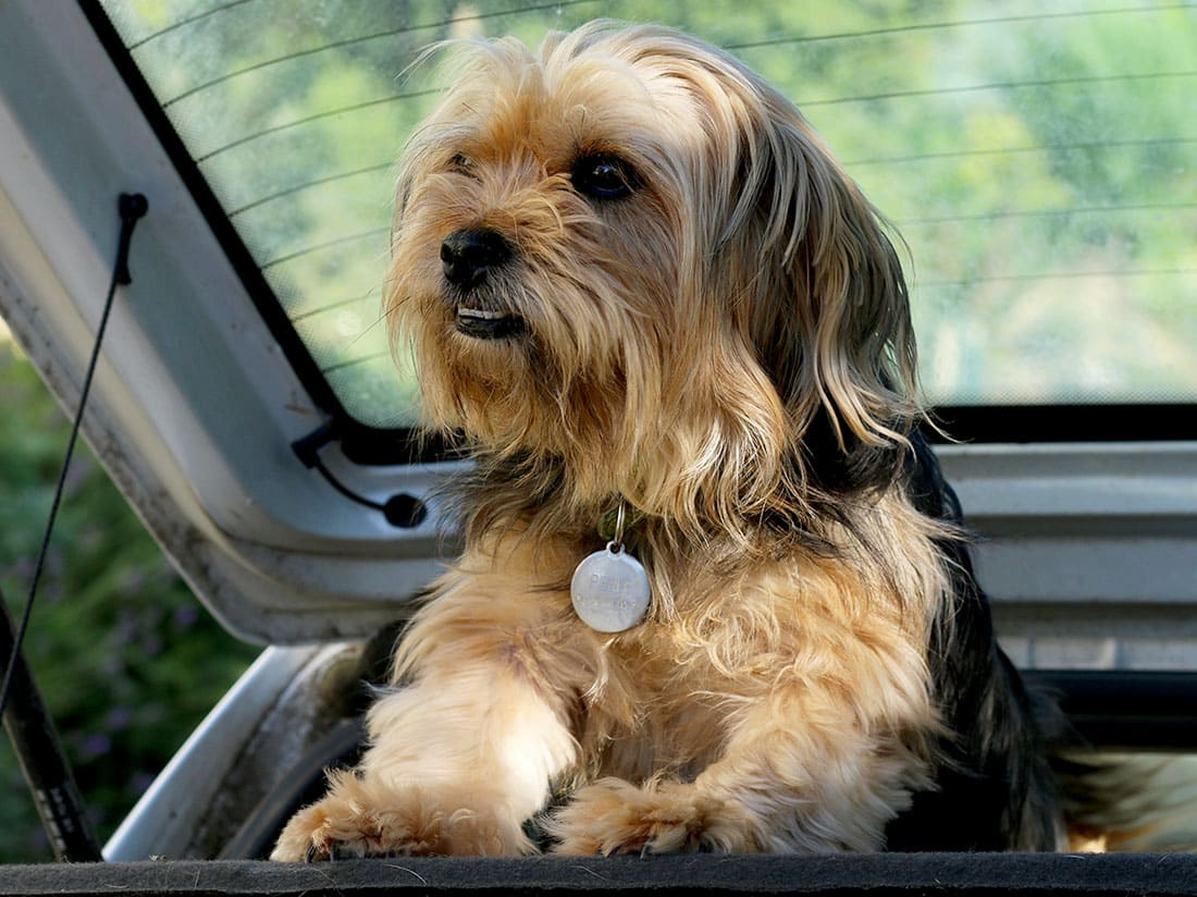 Mon chien Perle, qui me suit partout tous les jours.