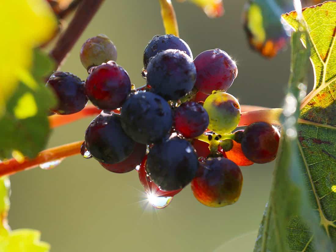 Grapillon dans la lumière rasante du soleil du Languedoc
