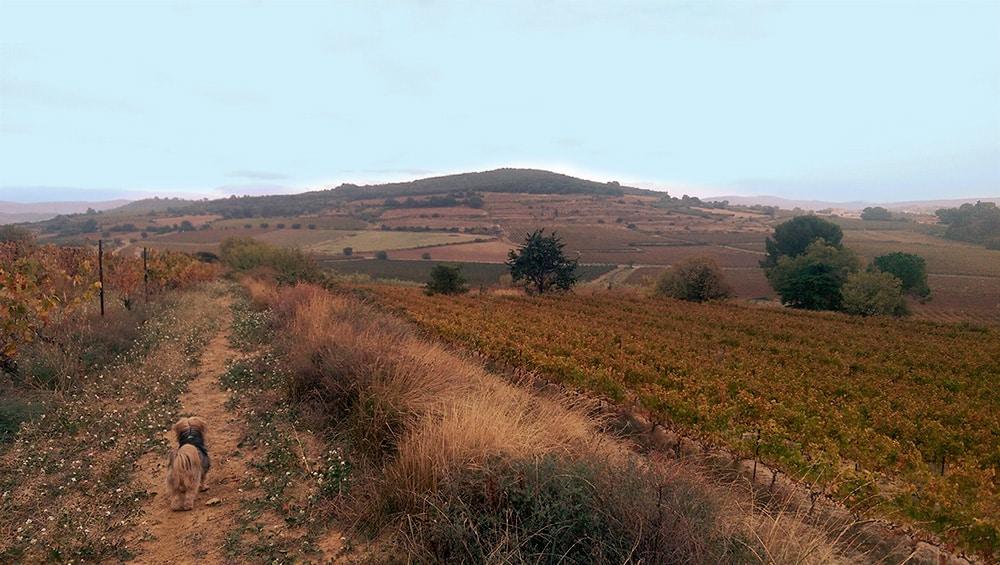 Les vignes en automne à Gabian.